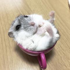 ハムスター/ペット ハムちゃん♡