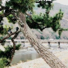旅行 渡らなかった、、、渡月橋。 (≧∀≦)