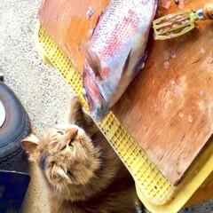 ねこ/夏/にゃんこ/ペット パパさんが釣ってきたお魚…ちょっと味見にゃ