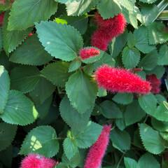 ベランダ花 こんばんは、少し前の ベランダ花と マン…(4枚目)