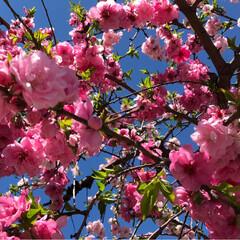 しだれ桜/散歩 カイドウが 綺麗だった お宅の しだれ桜…