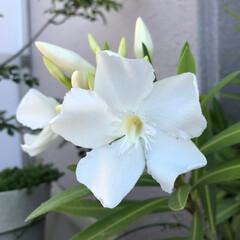 夾竹桃/ユスラウメ/ベランダ💐 ☀️ 白い 夾竹桃 一日で こんなに開花…