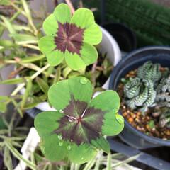 ベランダ花 こんばんは、少し前の ベランダ花と マン…(2枚目)