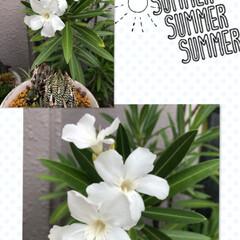 夾竹桃/ベランダ花  また、ホワイト 夾竹桃 咲きました❣️…