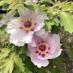 牡丹/春のフォト投稿キャンペーン 桃の木の お宅の 牡丹です! 薄いピンク…