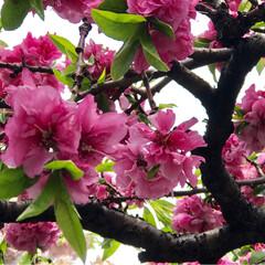 紅白🍑の木/春のフォト投稿キャンペーン 昨日、しだれ八重桜と 思いきや、撮って …