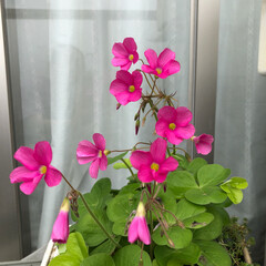 ベランダ花 こんばんは、少し前の ベランダ花と マン…(1枚目)