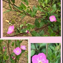 お花 昨日、空き地と道端で カシャ 3枚  光…