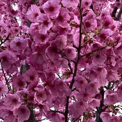 🍘/散歩/フォロー大歓迎/風景/DIY   そろそろ桜 見頃になって来てます👏 …