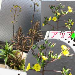 お花 ベランダ花  小さいから 拡大に  オニ…