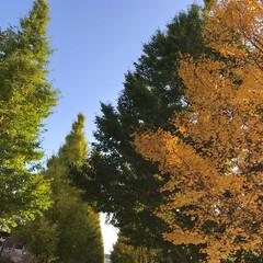 イチョウの木/風景 🌈🌴🌺🦚🍂🍁🌾🍄こんにちは(*ˊᵕˋ*)…