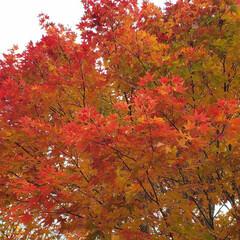 標茶/道東/紅葉狩り/紅葉/ひらた家具店/秋 【配達帰りに一枚】 やっぱり他の木々より…