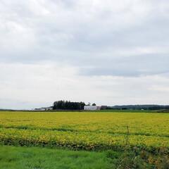 景色/風景/じゃがいも/ジャガイモ/畑/十勝/... 昨日、北海道の帯広(おびひろ)へ行ってま…(1枚目)