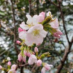 花/標茶/道東/桜/ひらた家具店/LIMIAおでかけ部/... ここ数日のお馴染み、桜の定点観察でござい…
