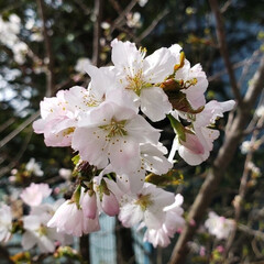 開花/道東/標茶/桜/ひらた家具店/LIMIAおでかけ部/... 昨日、道東の釧路(くしろ)も開花宣言があ…