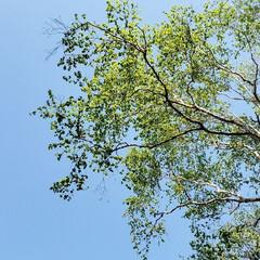 緑/樹木/木/空/景色/仕事中/... 昨日はカーペットの敷き込みをしてまして。…