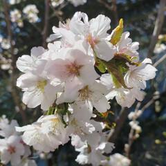 美しい/満開/花/桜/ひらた家具店/令和の一枚/... 店長が定点観察している近所の桜の枝。 一…