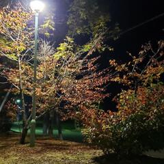 道東/北海道/標茶/秋/紅葉/葉/... 夕方にちょっと散歩。  まだまだ木々は緑…