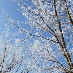 樹氷/冬/ひらた家具店/風景 本日の標茶(しべちゃ)の樹氷。 今日は湿…