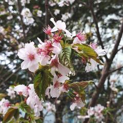 花/定点観察/桜/ひらた家具店/LIMIAおでかけ部/おでかけ/... 店長がゴールデンウィークから定点観察して…