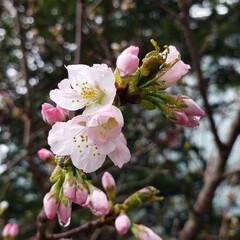 標茶/道東/開花宣言/定点観察/桜/ひらた家具店/... ここ、道東の標茶(しべちゃ)では本日は雨…