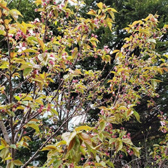 標茶/道東/北海道/定点観察/葉桜/桜/... 店長がゴールデンウィークから定点観察して…