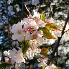 切ない/花/定点観察/桜/ひらた家具店/LIMIAおでかけ部/... 店長が定点観察している近所の桜の枝。 本…