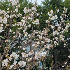 定点観察/標茶/道東/桜/ひらた家具店/LIMIAおでかけ部/... これはここ最近、店長が定点観察している桜…