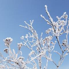 仕事中/樹氷/北海道/標茶/ひらた家具店/LIMIAおでかけ部/... 用事で外を歩いていたら、枯れ草が樹氷状態…