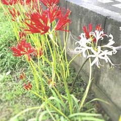 花/曼珠沙華/紅白/ペット 数日前雨の中コンビニまで歩いたら 彼岸花…