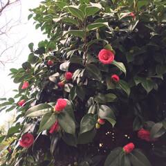 木蓮/紫陽花/金柑/椿/小さい春/新芽/... 庭の椿の花が咲き始めました🤗1.2枚は咲…