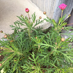 木蓮/金魚草/シェリエメール/パンジーとビオラ/春の花/LIMIAペット同好会/... 少しだけ鉢植えしてるお花たち❁✿✾  ✾…