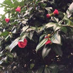 木蓮/紫陽花/金柑/椿/小さい春/新芽/... 庭の椿の花が咲き始めました🤗1.2枚は咲…(2枚目)