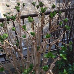 新芽/紫陽花/我が家の庭/小さい春/風景 わが家の庭に芽吹いてきた紫陽花•*¨*•…(3枚目)
