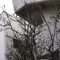 木蓮/紫陽花/金柑/椿/小さい春/新芽/... 庭の椿の花が咲き始めました🤗1.2枚は咲…(5枚目)