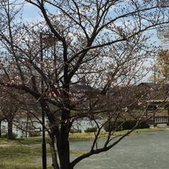 公園/ぽちょっとっと咲いた🌸/LIMIAペット同好会/フォロー大歓迎/ペット/ペット仲間募集/... 坂の下にある公園の🌸が咲き始めました💗 …