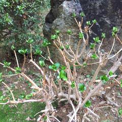 新芽/紫陽花/我が家の庭/小さい春/風景 わが家の庭に芽吹いてきた紫陽花•*¨*•…