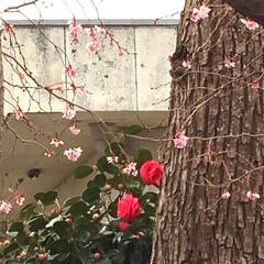 お散歩/水仙/寒椿/桜/ハンドメイド/風景/... お散歩いに行った時に見つけたのですが、な…