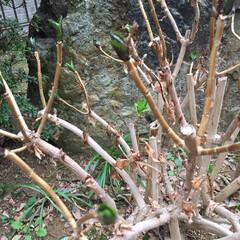 春を感じて/新芽/紫陽花/庭/風景 庭の紫陽花に新芽🌱が出ていました+。:.…