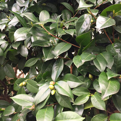 木蓮/紫陽花/金柑/椿/小さい春/新芽/... 庭の椿の花が咲き始めました🤗1.2枚は咲…(3枚目)