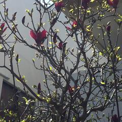 我が家の庭/春のフォト投稿キャンペーン/風景 木蓮が咲きました 紫陽花も大きくなってき…
