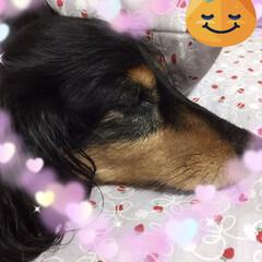 犬猫以外もいいぞ派/犬派/LIMIAファンクラブ/至福のひととき ぐっすり眠ってるまめさん  黒いんで、起…