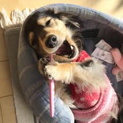 歯磨き/腹巻き/健康管理/LIMIAペット同好会/ペット/犬/... 犬だって健康管理♪ 歯磨きOK🙆♀️腹…