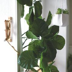 グリーン/生活/暮らし/インテリアグリーン/フェイクグリーン/雑貨/... こんばんは!大きく広がった葉っぱに元気を…
