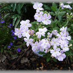 バーベナ/花壇/白系/薄紫 バーベナ:ラベンダースター
