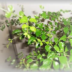 暖地直物/シマトネリコ/冬越し/氷点下/グリーン/常緑樹 寒冷地では冬越し出来ないシマトネリコ 2…