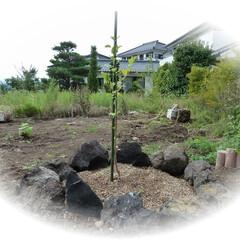 樹木/果物 新居に越してきた時に 義父が記念にリンゴ…