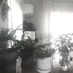 ユーカリ/生活/ボタニカルライフ/ボタニカル/植物のある暮らし/グリーン/... お部屋のグリーン。 暑さでニョキニョキ植…