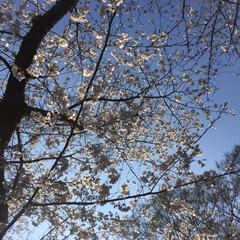 桜/お花見/春の一枚/春のフォト投稿キャンペーン/LIMIAおでかけ部/フォロー大歓迎/... 春と言ったら桜。 桜と言ったらお花見! …