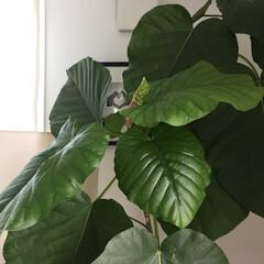 ウンベラータ/インドアグリーン/観葉植物/インテリア/住まい リビングに置いてあるウンベラータも今どん…(1枚目)